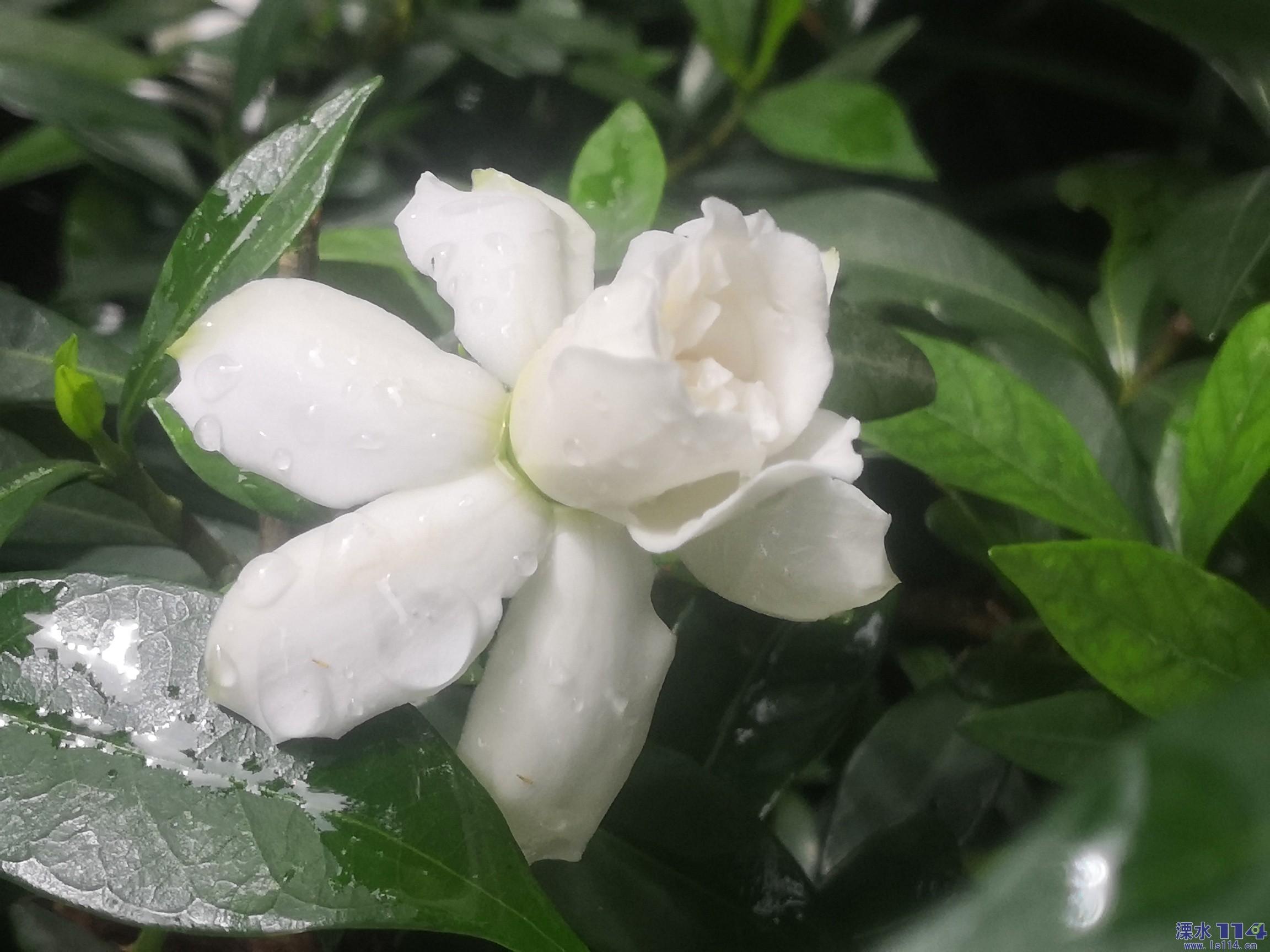 六月的栀子花