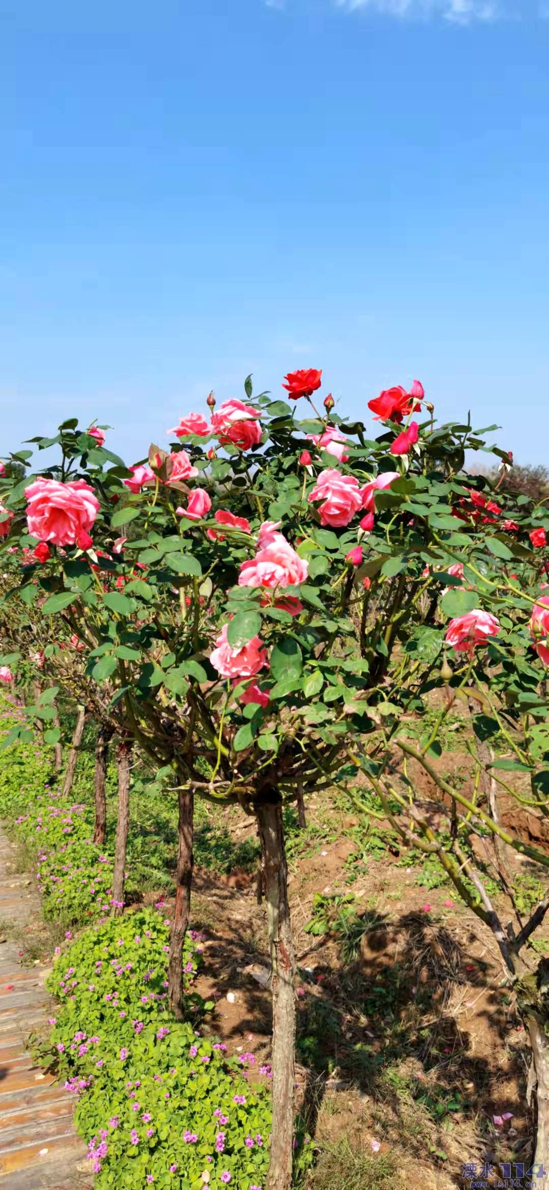 10月末的玫瑰园依然花香满园